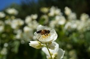 Seringa et abeille