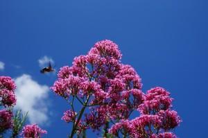 Valériane et sphinx colibri