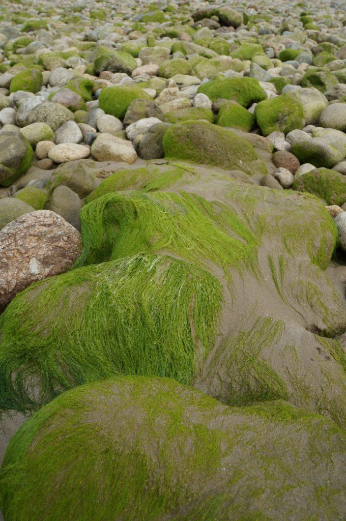 Algues sur les galets