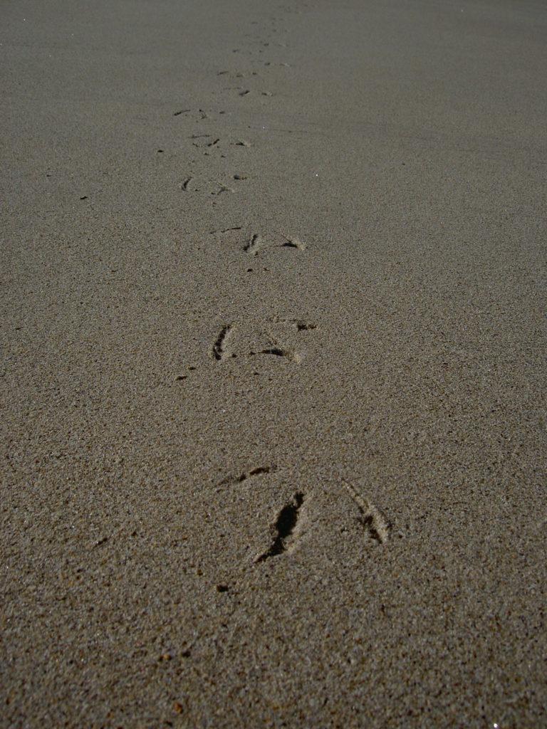 Empreintes de goélands sur le sable