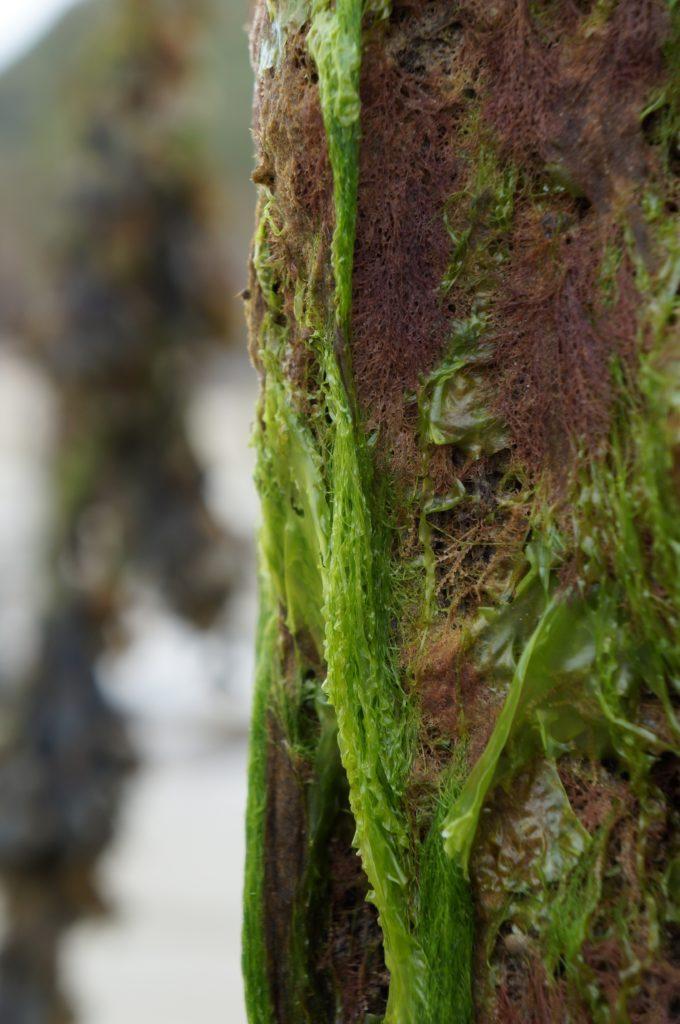 Les algues sur les pieux d'amarrage