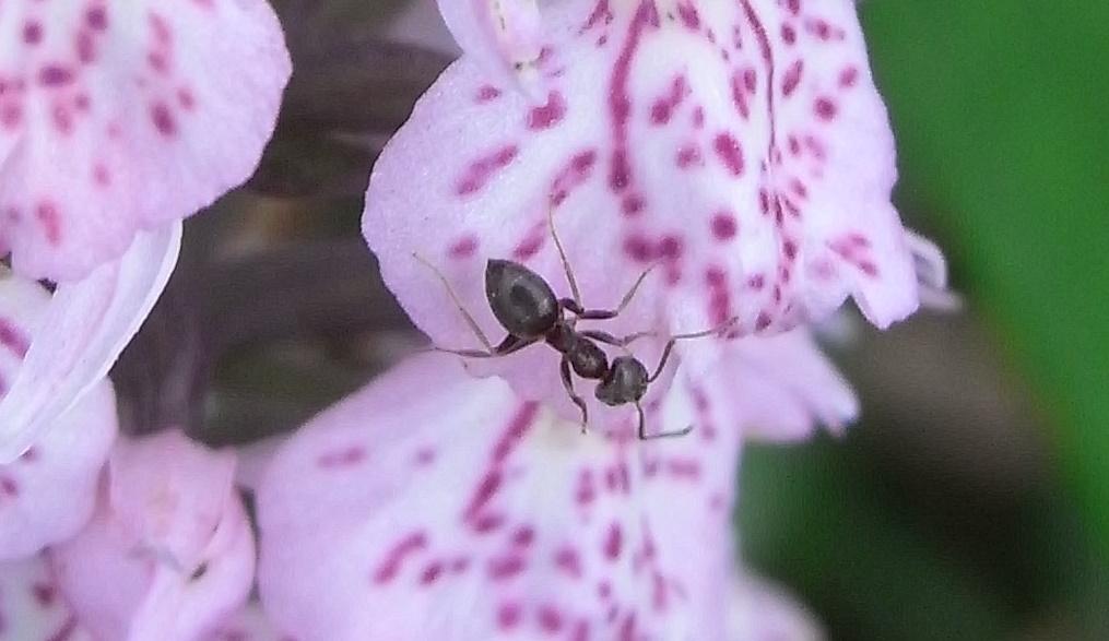 Fourmi sur orchidée